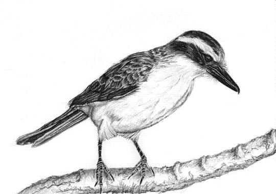 Bem-te-vi-bird-pencil-drawing