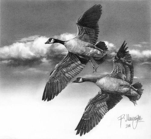 bird-pencil-drawing-ralph-murray