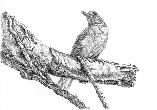 bird-pencil-drawing-tutorial