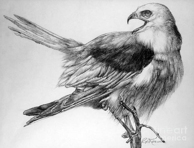eaglet-roy-kaelin-pencil-drawing