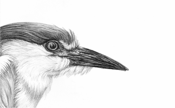 heron-bird-pencil-drawing