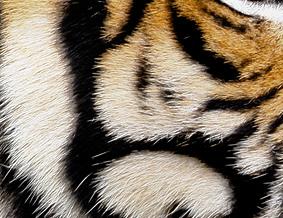 como desenhar as listras do tigre 2